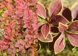 Berberis thunbergii Golden Ring / Borbolya Golden Ring