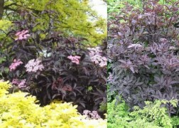 Sambucus Nigra Black Beauty / Bordó levelű bodza